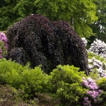 Buk pospolity (Fagus sylvatica) 'Purpurea Pendula' - HGN