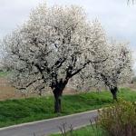 Przydrożna aleja starych drzew czereśniowych (Prunus) przy Arboretum w Wojsławicach - HGN
