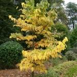 Styrak wielkolistny (Styrax obassia) - HGN