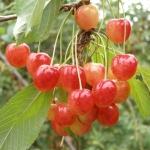 Bank genów dolnośląskiech odmian czereśni (Prunus) - HGN