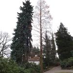 Świerk kłujący (Picea pungens) 'Fürst Bismarck' (po lewo) oraz metasekwoja chińska (Metasequoia glyptostroboides) - HGN