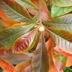 Przebarwiające się liście franklini amerykańska (Franklinia alatamaha) - HGN