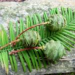 Szyszki i igły metasekwoi chińskiej (Metasequoia glyptostroboides) - HGN