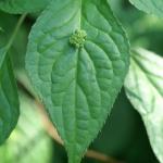 Helwinga japońska (Helwingia japonica) kwiaty i owoce tworzą się na środku blaszki liściowej - HGN