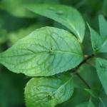 Helwinga japońska (Helwingia japonica) - HGN