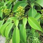 Trochodendron (Trochodendron aralioides) - HGN