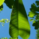 Charakterystyczny liść magnolii  lekarskirj odm. dwuklapowej  (Magnolia officinalis var. biloba) - HGN