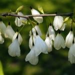 Kwiaty ośnieży górskiej (Halesia monticola) - HGN