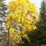 Jesienne przebarwienie liści okazu źeńskiego miłorzębu dwuklapowego (Ginkgo bilob) - HGN