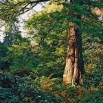 Cypryśnik błotny (Taxodium distichum) - HGN