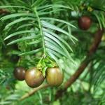 Nasiona w osnówce głowocisa japońskiego odm. chińskiej (Cephalotaxus harringtonia var.sinensis) - HGN