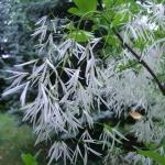 Śniegowiec wirginijski (Chionanthus virginicus) tzw. śniegowe drzewo - HGN