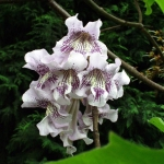 Paulownia Fargesa (Paulownia fargesii) - HGN