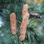 Kawiaty męskie (X) cedra tureckiego podgat. libańskiego (Cedrus libani var. stenocoma) - HGN