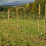 Każde młode drzewko czereśniowe zostało zabezpieczone przed wiatrem oraz zającami - HGN