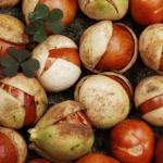 Owoce kasztanowca drobnokwiatowego (Aesculus parviflora) mają średnice 2–3 cm, długości 3–4 cm, są brązowawego koloru i mają gruszkowaty kształt - HGN
