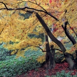 Klony palmowe (Acer palmatum) - HGN