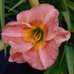Hemerocallis_'Devon'_JB_Rat, Woj