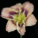 Hemerocallis_'Sudetic Goblin Eye'_TN_Woj