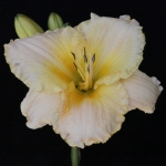 Hemerocallis_'Sudetic Silence'_TN_Woj