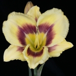 Hemerocallis_'Sudetic Star Explosion'_TN_Woj