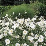 Zawilec japoński (Anemone japonica) 'Honorine Jobert ' - HGN