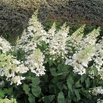 Hortensja bukietowa (H. paniculata) 'Unique'- HGN