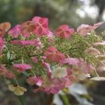 Hortensja dębolistna (Hydrangea quercifolia) - HGN