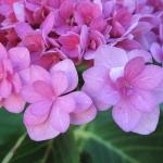 Hortensja ogrodowa (Hydrangea macrophylla)  YOU&ME ROMANCE® 'Youmenine' - HGN