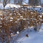 Hortensje (Hydrangea) w zimowej szacie - HGN
