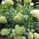 Hortensja krzewiasta (Hydrangea arborescens) 'Incrediball' - HGN