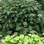 Hortensja kosmata (Hydrangea aspera subsp. sargentiana) - HGN