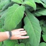 Hortensja kosmata (Hydrangea aspera subsp.strigosa) - HGN