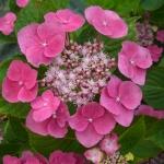 Hortensja ogrodowa (Hydrangea macrophylla) 'Blaumeise' - HGN