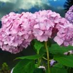 Hortensja ogrodowa (Hydrangea macrophylla) 'Bouquet Rose' - HGN