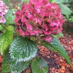 Hortensja ogrodowa (Hydrangea macrophylla) 'Hamburg' - HGN