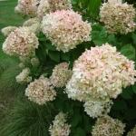 Hortensja bukietowa (Hydrangea paniculata)  'Limelight' - HGN