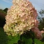 Hortensja bukietowa (Hydrangea paniculata)  'Phantom'  - HGN