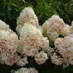 Hydrangea paniculata  'Silver Dollar' - Arboretum Wojsławice