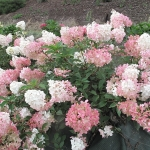 Hortensja bukietowa (Hydrangea paniculata)  VANILLÉ FRAISE 'Rheny' - HGN