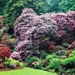 Kaskady kwitnących różaneczników (Rhododendron) - HGN