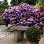 Kolekcja Narodowa rodzaju Rhododendron - HGN