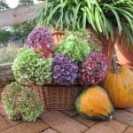 Kompozycja jesienna z hortensji (Hydrangea) - HGN