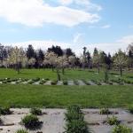 Kwitnący sad czereśniowy - HGN