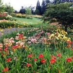 Lipcowe kwitnienie  liliowców (Hemerocallis) - największej kolekcji w Arboretum w Wojsławicach.