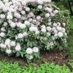 Rhododendron 'Bismarck' (T.J.R. Seidel 1900) - HGN