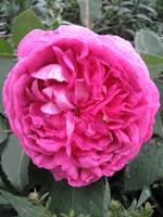 Róża historyczna (Rosa) 'Reine des Violettes' - HGN