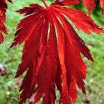 Acer palmatum 'Aconitifolium' - Wojsławice, HGN