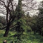 Cedrus libani var. stenocoma - Wojsławice. FOT. T. Bojarczuk