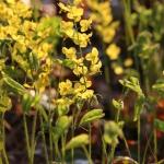 Epimedium pinnatum ssp. colchicum - Wojsławice, TN
